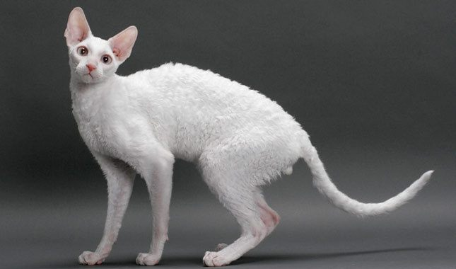 Chat Cornishrex Jungle Cat